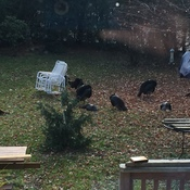 Turkeys drop in for visit .. 9 in all