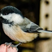 Black-Capped Chickadee at Rockwood Park in Saint John, NB
