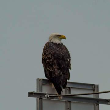 Bald Eagle near the breakwater and sea caves in St. Martin's, NB.