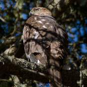 Coopers Hawk at Rockwood Park in Saint John, NB