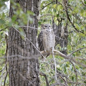 Great Horned Owl in sleep mode