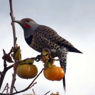 Birds eat the fruits