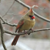 Beautiful female Cardinal!