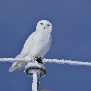 snowy owl on a frosty post