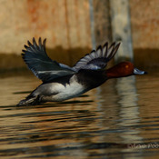 Redhead Duck Takes flight
