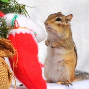 Chippie hangs his stocking!