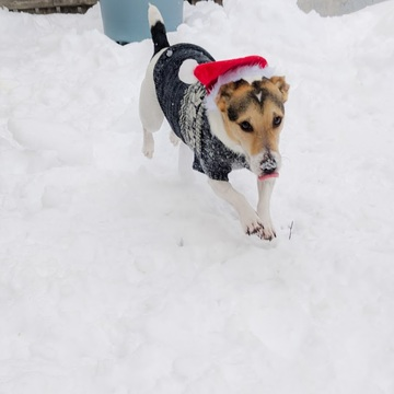 Jack russell playing in the snow
