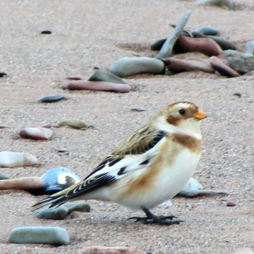 Snow Bunting on the Beach