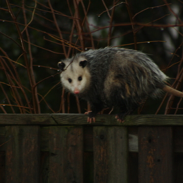 Opossum in our back yard