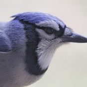 blue jay close up