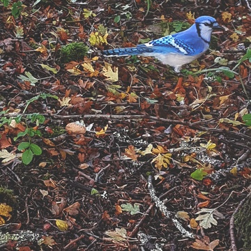 bluejay foraging