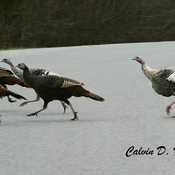 White Wild Turkeys