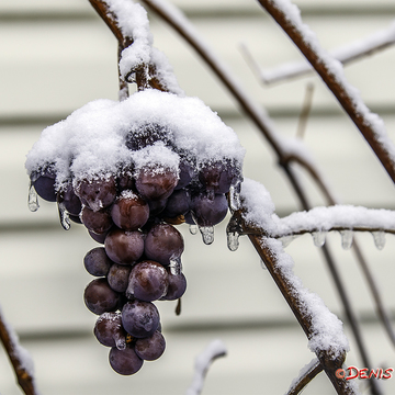 Brrrr.... It's so cold my grapes are frozen