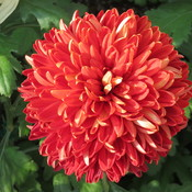 Chrysanthemum Show.