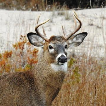 A buck at Presqu'ile