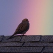 Mourning dove in rainbow