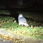 Snowy Owl in Mimico