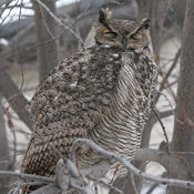 Horned owl in our tree