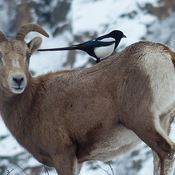 Big horn ewe and a magpie
