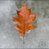 Leaves on frozen puddles, Elliot Lake.