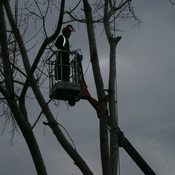 Cutting down a huge Poplar tree.
