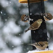 HUNGRY FINCHES
