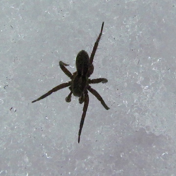 WOLF SPIDER ON SNOW!