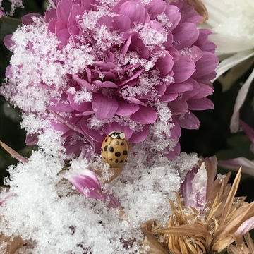 Lady Bug too late for hibernation
