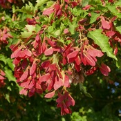 Amur Maple Seeds