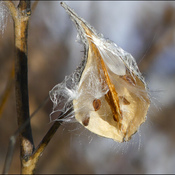Almost empty milkweed pod, Elliot Lake.