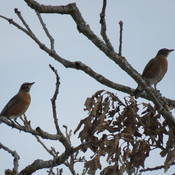 Robins Now R Winter Birds