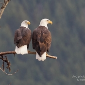 Adult bald eagle mates.