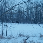 a moose-y morning :)