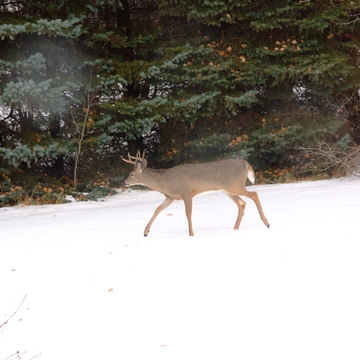 Backyard Buck Look'n for does