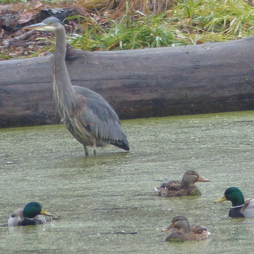Blue heron and the ducks