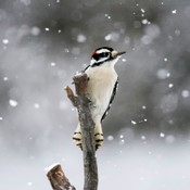 downy woodpecker after the suet