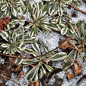 Ice Crystal Patches Highlight Ground Cover