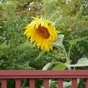 Nodding Sunflower