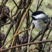 Eiswein for a Chickadee??