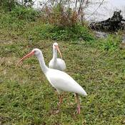 Beautiful American White ibis