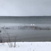 Two Swans on a snowy day