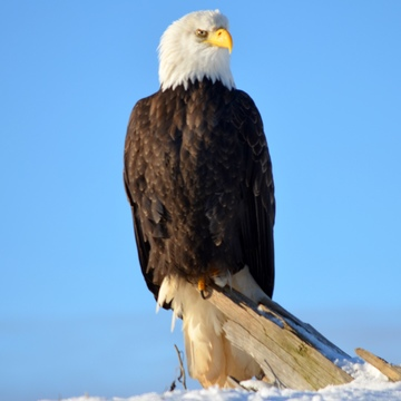 Winter Eagle