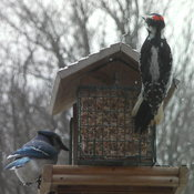 Woodpecker and Blue jay