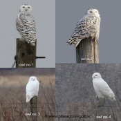 4 snowy owl day in Ottawa