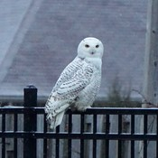 Snowy Owl on the fence