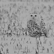 Snowy Owl (F) in a corn field