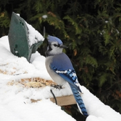 First snowfall and a hungry bluejay