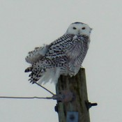A Snowy Owl on a wintery Sunday near Atwood