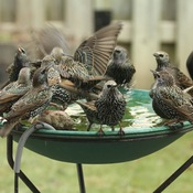 Invasion of the starlings