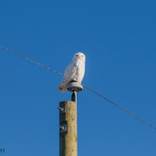 A far and closer look of a Snowy Owl perched on a power pole